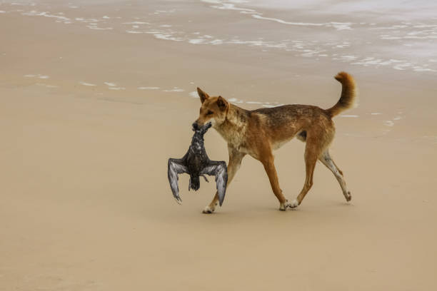 Dingo australien avec sa proie, un Pétrel bulwers à 75 mile plage - Photo
