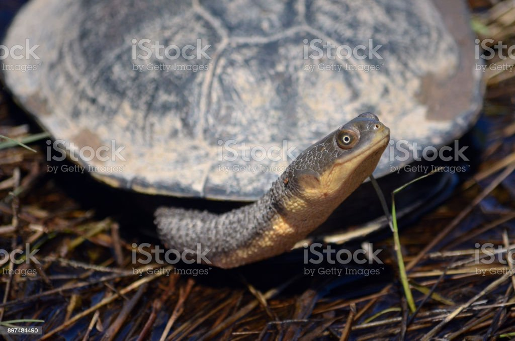 Australian Eastern long-necked turtle stock photo