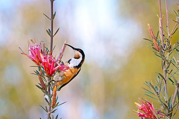 australian eastern spinebill feeding on nectar from mountain devil flower - culture australienne photos et images de collection
