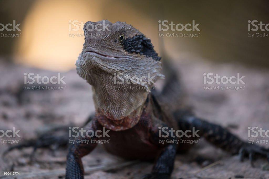 Australian Eastern Water Dragon Basks on the bank of a creek stock photo