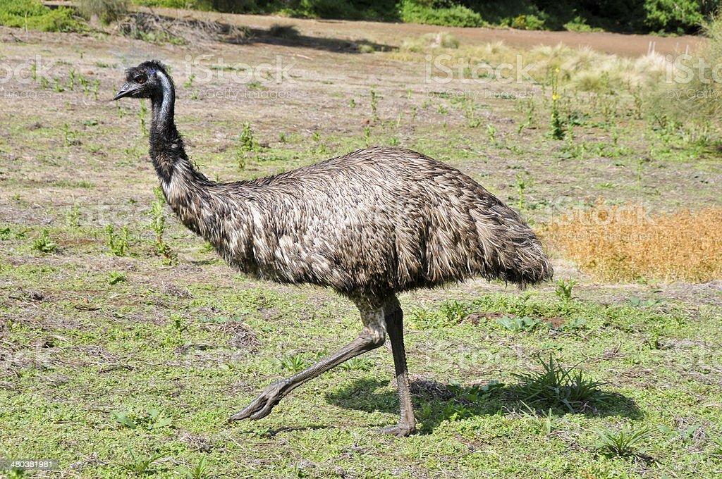 Australian emu at Tower Hill wildlife reserve (Australia) stock photo
