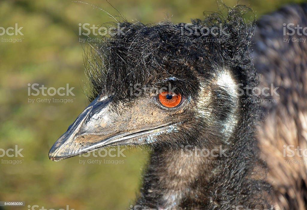 Australian Emu in profile stock photo