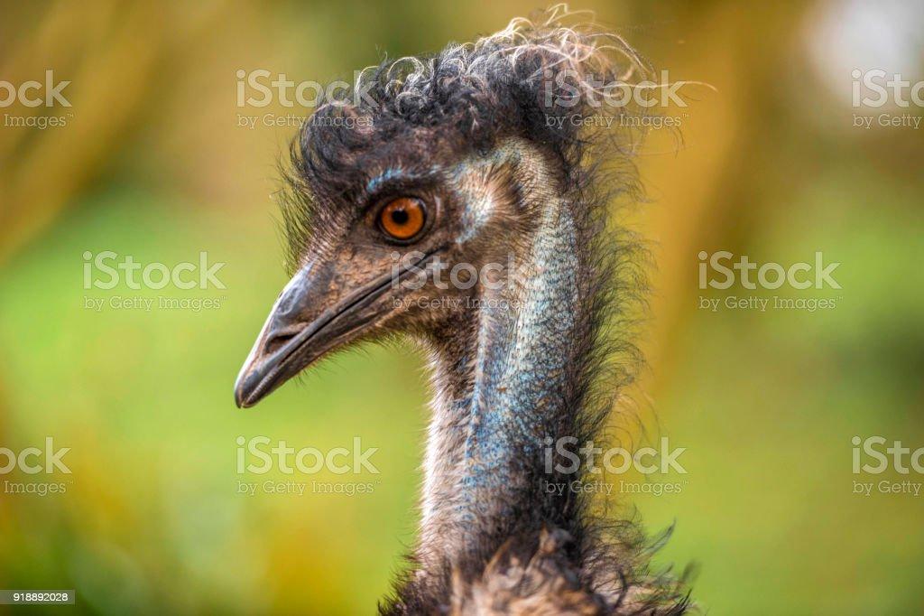 Australian Emu (Dromaius novaehollandiae) Portrait stock photo