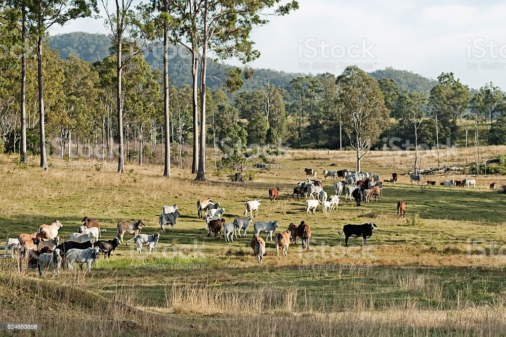 Australian eucalypt cattle country landscape stock photo