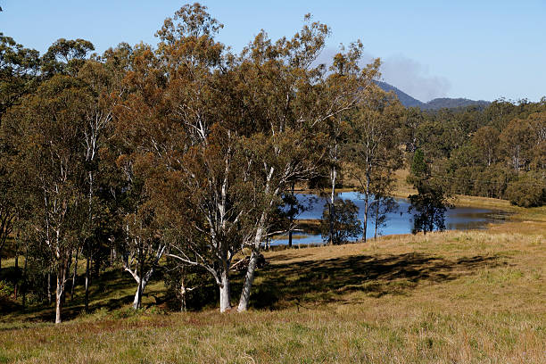 Australian Eucalyptus Trees in Country Landscape stock photo