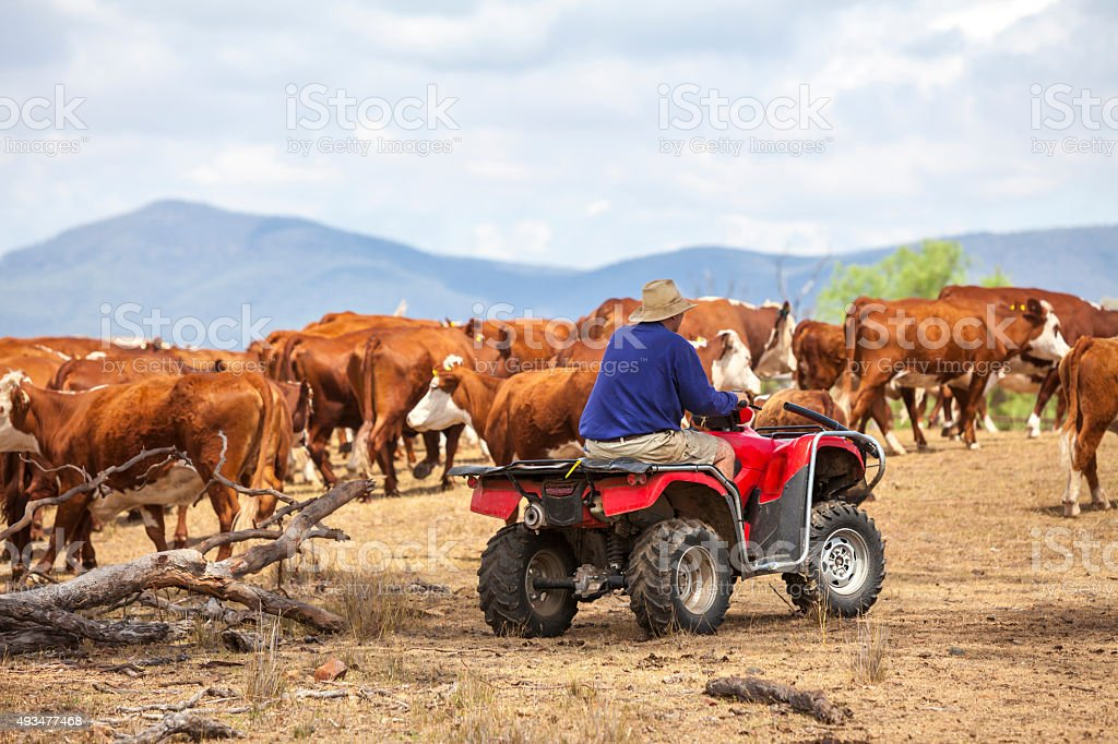 Australian farmer on quad bike with cattle stock photo