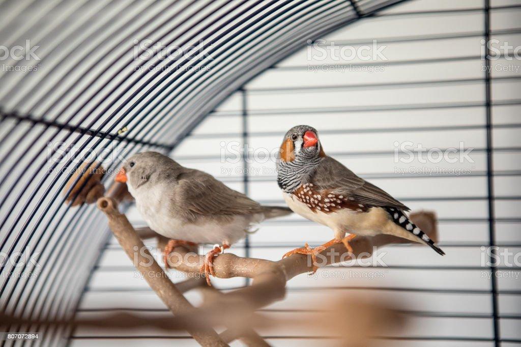 Australian Finch (Taeniopygia guttata) stock photo