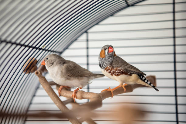 Australian Finch (Taeniopygia guttata) Two australian finch In the cage finch stock pictures, royalty-free photos & images