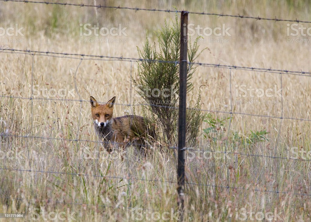 Australische Fox – Foto