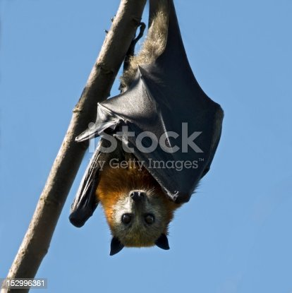 A grey-headed fruit bat shields its body from the hot Australian sun