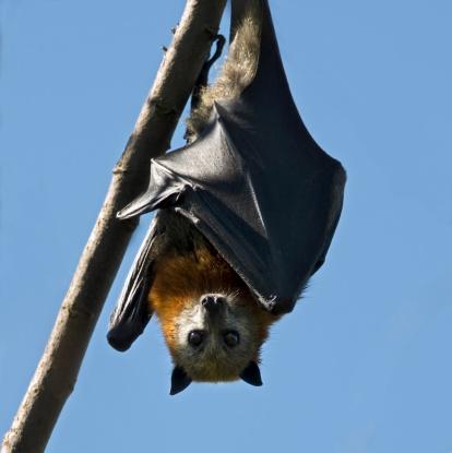 A grey-headed fruit bat shields its body from the hot Australian sun