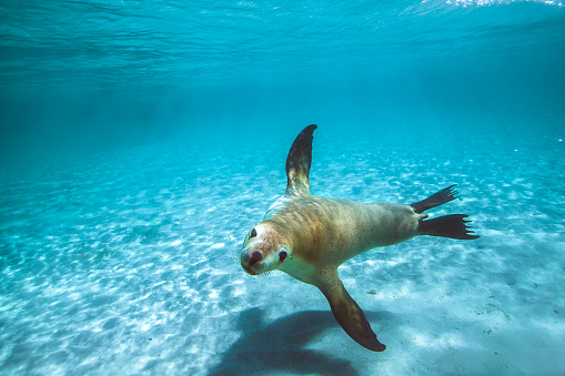 Australian fur seal or sea lion swimming through clear shallow water over sand ocean floor