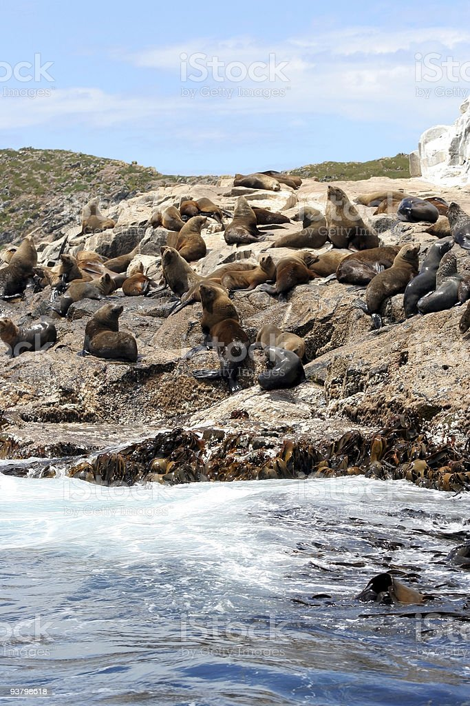 Australian fur seals off Bruny Island, Tasmania, Australia royalty-free stock photo