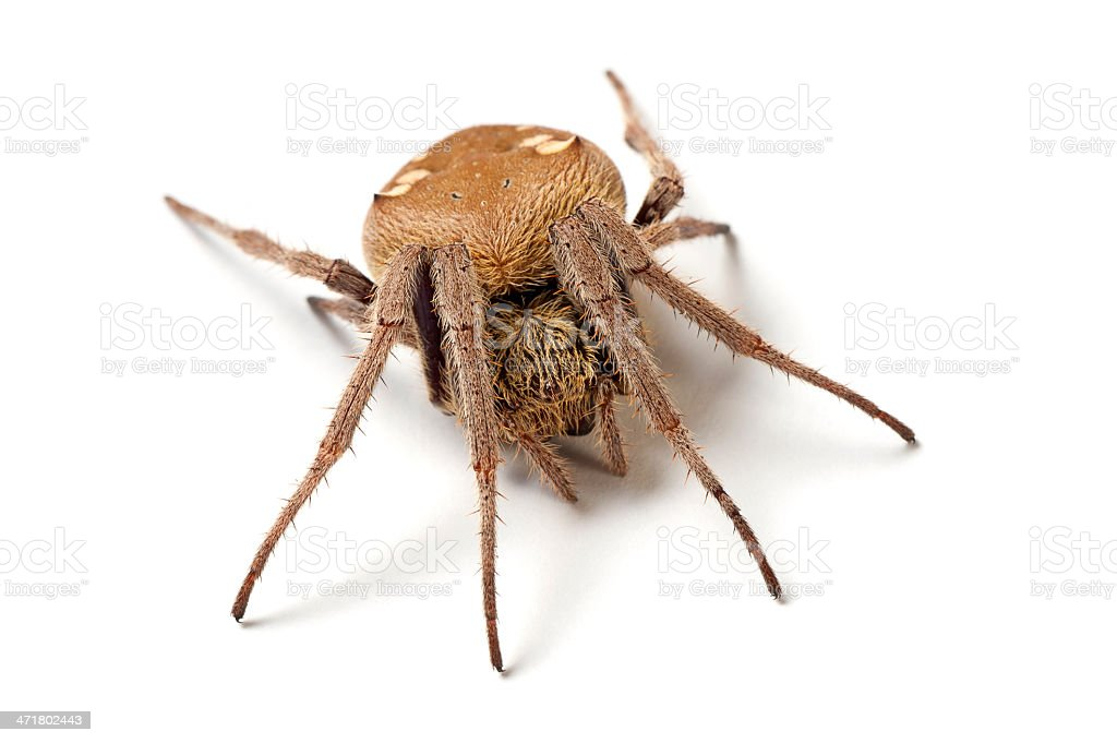 Australian garden orb weaver spider (Eriophora transmarina) isolated on white. royalty-free stock photo