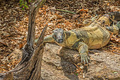 Australian Goanna Lizard, head turned to face camera showing big claws and green scales on back