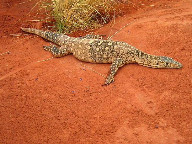 Australian Goanna stock photo