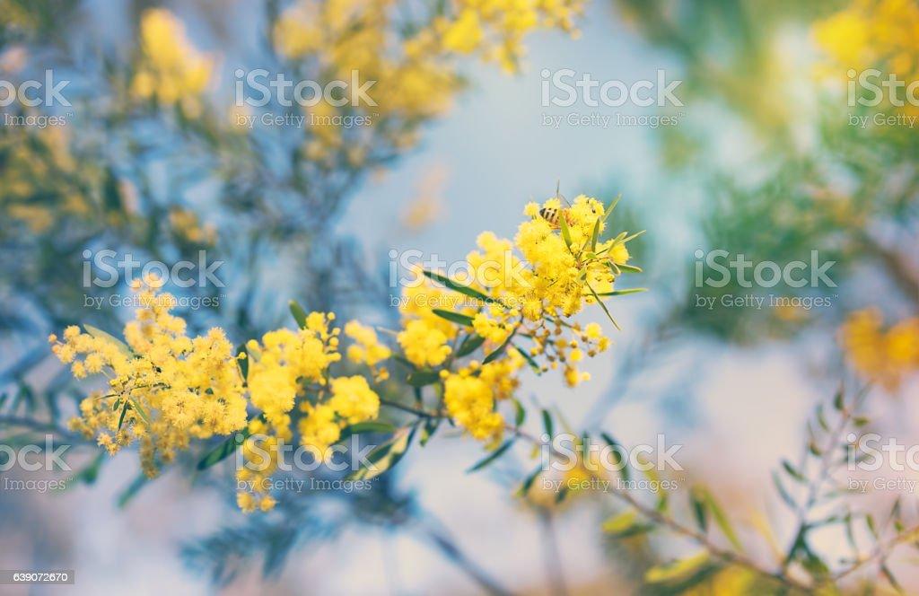 Australian golden yellow spring wattle flowers stock photo