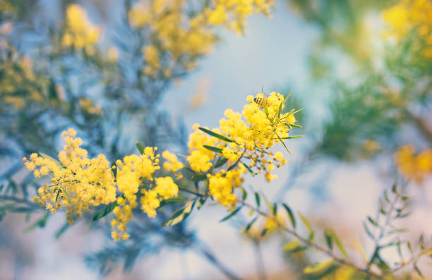 Australian golden yellow spring wattle flowers stock photo