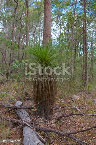 View of a beautiful grass tree (Xanthorrhoea) spotted at the Toohey Forest park in Brisbane. This plant is an endemic species from Australia