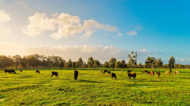 Australische Weidekühe auf einer Farm – Foto