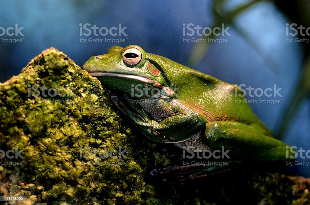 Australian green tree frog Gold Coast Queensland Australia stock photo