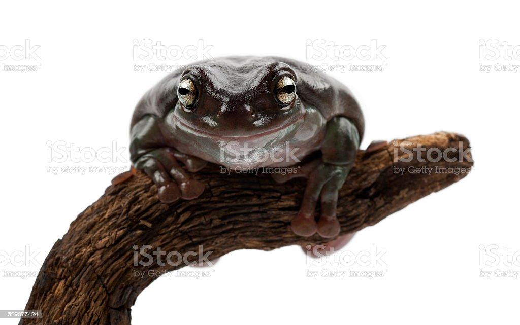 Australian Green Tree Frog or Dumpy Tree Frog, Litoria caerulea stock photo