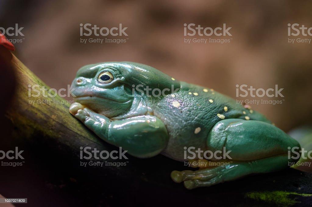 Australischen grünen Laubfrosch – Foto