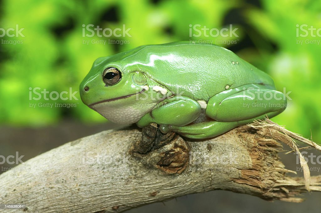 Common Green Tree Frog – Foto