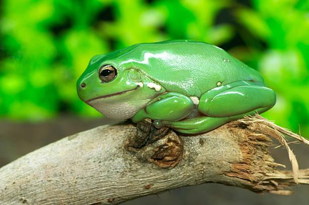 Common Green Tree Frog – Foto