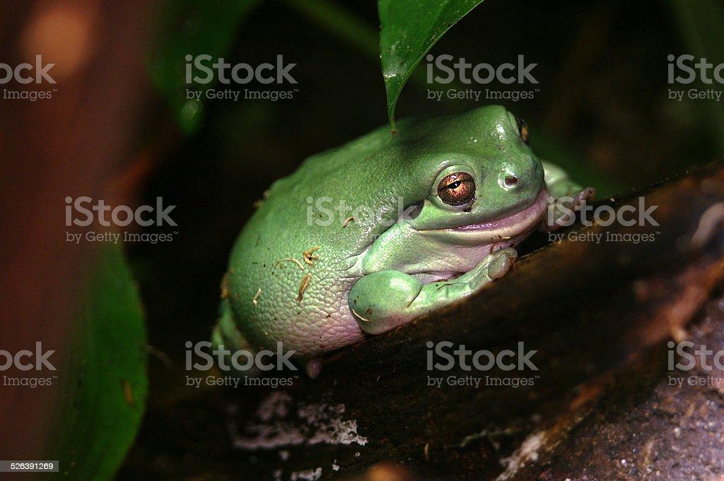 Australian green tree frog stock photo