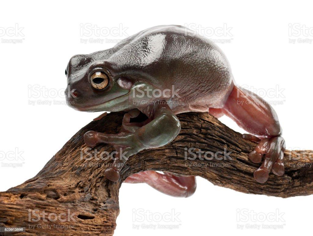 Australian Green Tree Frog, simply Green Tree Frog in Australia, White's Tree Frog, or Dumpy Tree Frog, Litoria caerulea, against white background stock photo