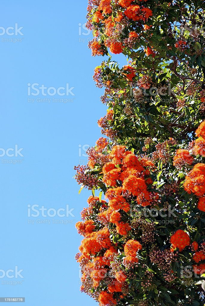 Australian Gum Tree in Bloom royalty-free stock photo