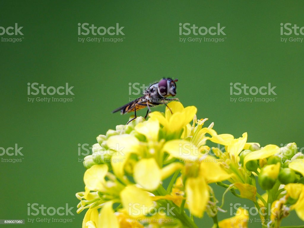 Australian Hoverfly stock photo