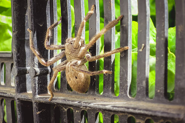 Australian Huntsman Spider A large Australian Huntsman spider huntsman spider stock pictures, royalty-free photos & images