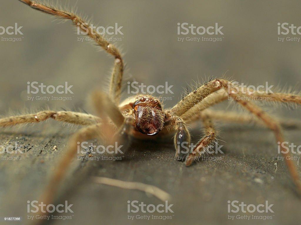 Australian Huntsman spider stock photo