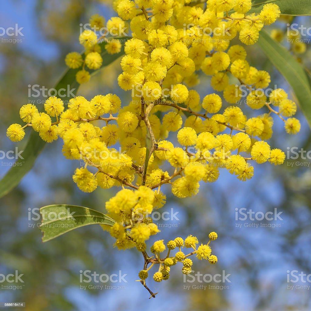 Australian Icon Golden Wattle Flowers stock photo