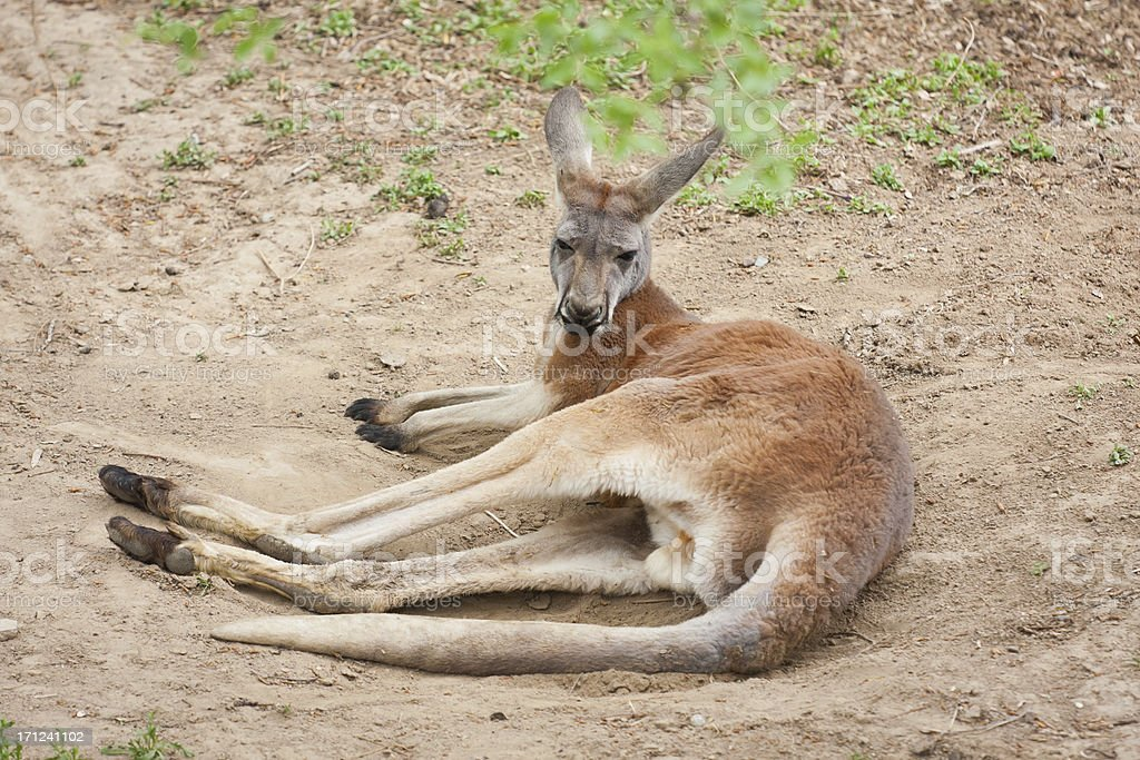 Australian kangaroo royalty-free stock photo