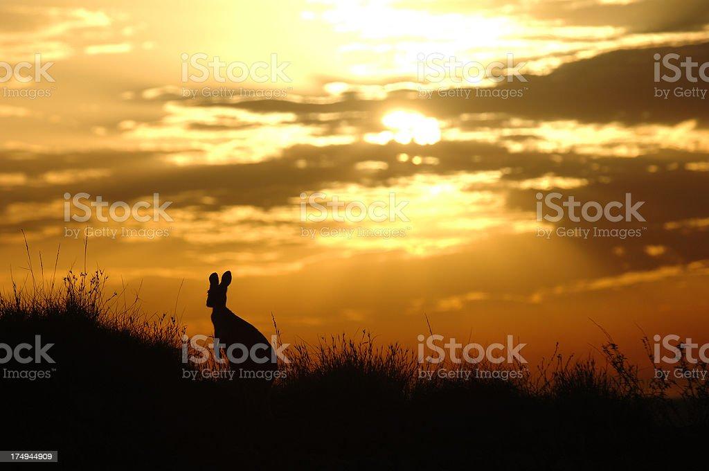Australian kangaroo silhouetted at sunrise. royalty-free stock photo