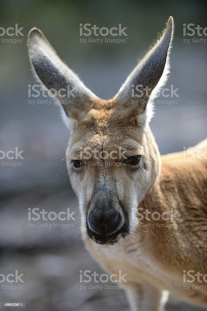 Australian Kangaroos stock photo