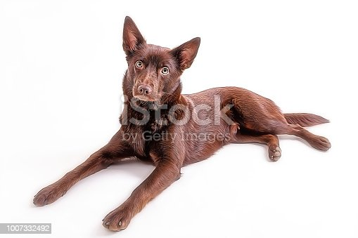 Isolated cute and funny australian kelpie dog over white background, oil paint processed