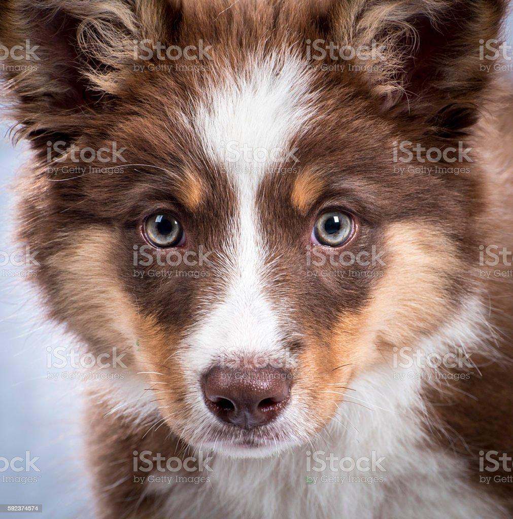Australian Kelpie Pup stock photo