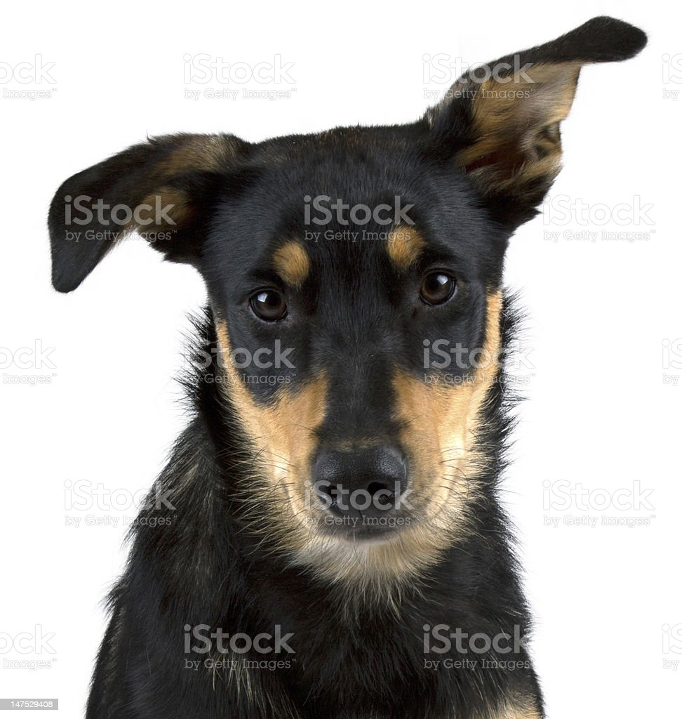 Australian Kelpie Puppy stock photo