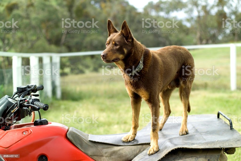 Australian kelpie sheep dog,This breed of dogs are very intelligent and are used a lot in the Australian sheep industry stock photo