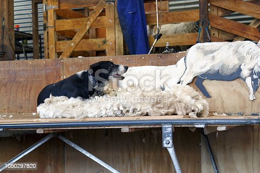 A sheep dog sits on a fleece of wool at a New Zealand sheep farm.