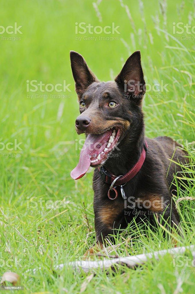 Australian Kelpie Working Dog stock photo