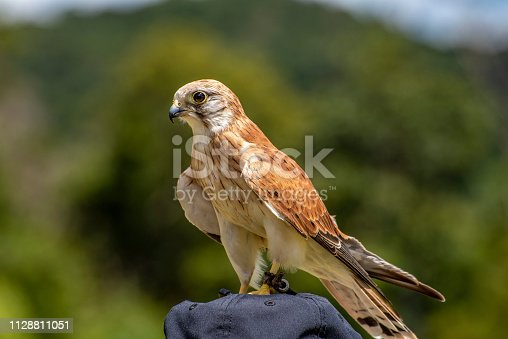 Australian Kestrel {Nanking Kestral} hunting in Lamington National Park