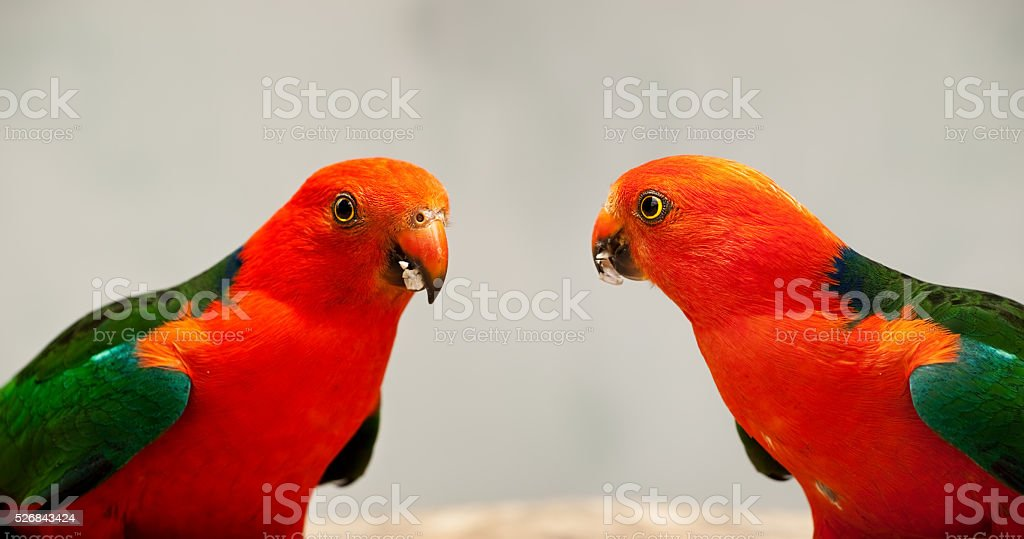 Australian King Parrot Alisterus scapularis Close Up stock photo
