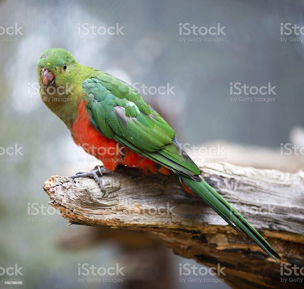 Australian king parrot female stock photo