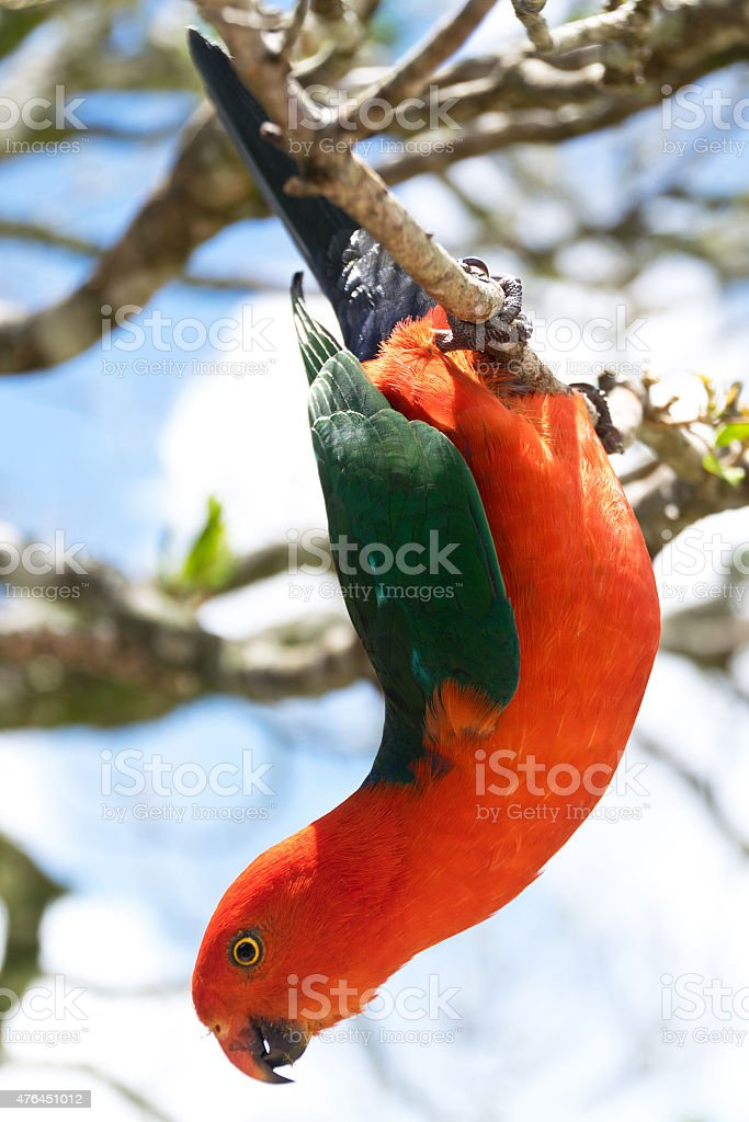 Australian King Parrot hanging down stock photo