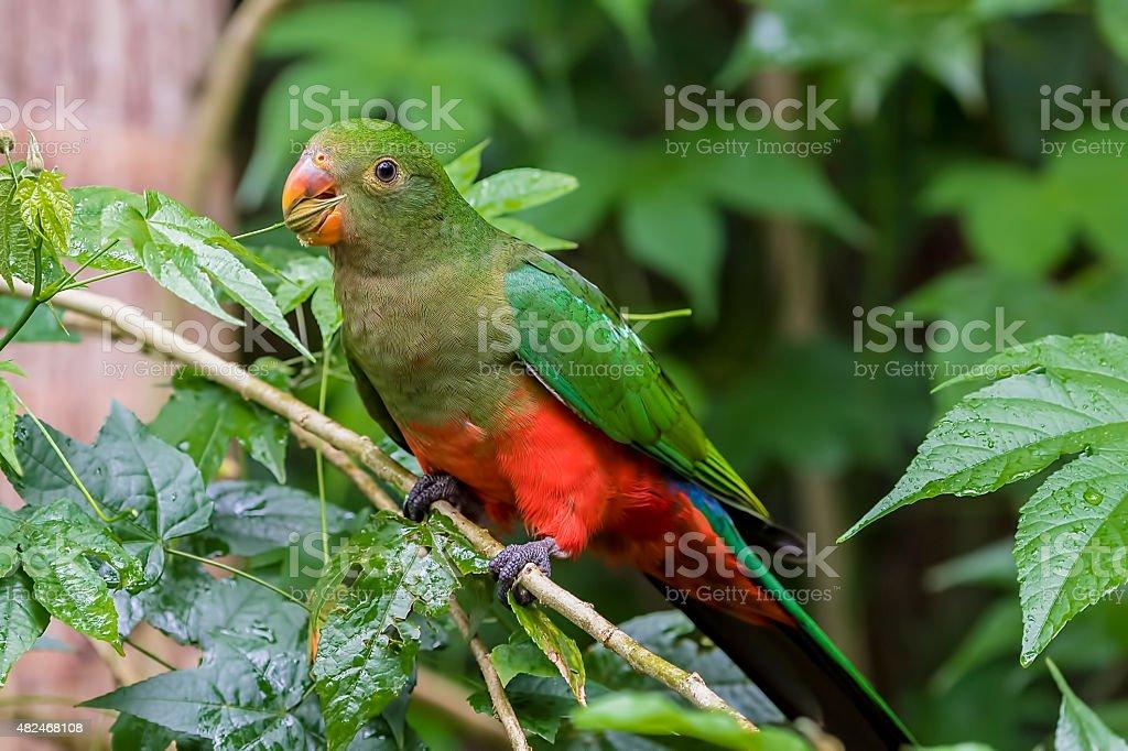 Australian King Parrot stock photo